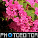 Bougainvillea Flowers 1 - VideoHive Item for Sale