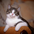 Portrait striped with white a cat on a sofa. - PhotoDune Item for Sale