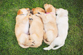 Golden Retriever Puppies - PhotoDune Item for Sale