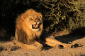 Male African lion snarling - PhotoDune Item for Sale