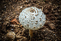 Forest poisonous mushrooms - PhotoDune Item for Sale