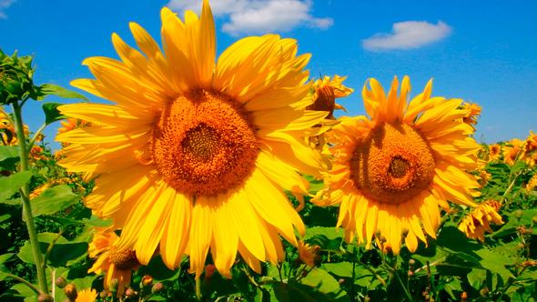 Blossom Sunflowers 1