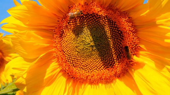 Bee Pollination On Sunflower 1
