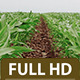 Cornfield 1 - VideoHive Item for Sale