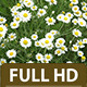 Chamomile filed - VideoHive Item for Sale