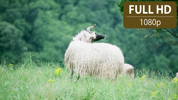 Sheep Standing in the Field 2