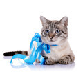 Striped blue-eyed cat with a blue tape. - PhotoDune Item for Sale