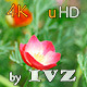 Red Eschscholzia - VideoHive Item for Sale