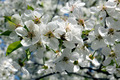 branches of blossoming cherry - PhotoDune Item for Sale