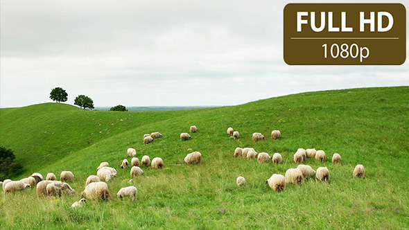 Group of Sheep Grazing in the Field 4