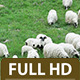 Group of Sheep Grazing in the Field 6  - VideoHive Item for Sale