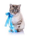 Striped cat with a blue tape. - PhotoDune Item for Sale