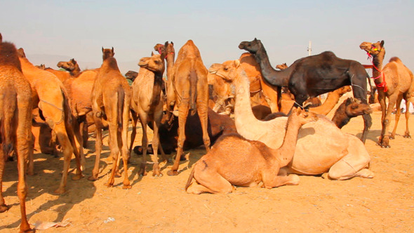 Pushkar Camel Fair 1
