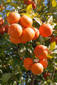 Orange tree - Citrus sinensis - PhotoDune Item for Sale