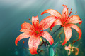 red lilies - PhotoDune Item for Sale