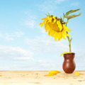 Big sunflower into pitcher on a wooden table against blue sky - PhotoDune Item for Sale