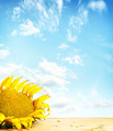 Big sunflower on wooden surface against blue sky - PhotoDune Item for Sale