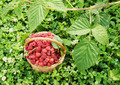 Wicker basket full of ripe red raspberry on the grass - PhotoDune Item for Sale