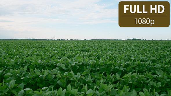 Soy Bean Field 3