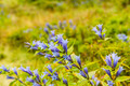 Gentiana Asclepiadea (Willow Gentian) - PhotoDune Item for Sale