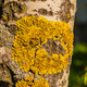 Xanthoria parietina - PhotoDune Item for Sale