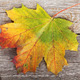 Colorful autumn maple leaf - PhotoDune Item for Sale