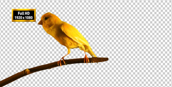 Canary Bird Singing 2