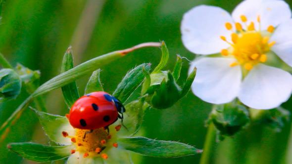 Ladybug On Flower 1