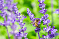 honey bee on Purple Salvia with nature background - PhotoDune Item for Sale