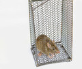 large rat in cage - PhotoDune Item for Sale