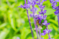 honey bee on Purple Salvia flower with nature background - PhotoDune Item for Sale