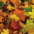 Autumn bright colored leaves. - PhotoDune Item for Sale