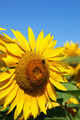 Sunflowers in the field against the blue sky. - PhotoDune Item for Sale