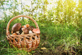 harvest brown cap boletus in a basket - PhotoDune Item for Sale