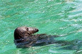 Seal in the water - PhotoDune Item for Sale
