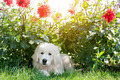 Cute white puppy dog lying on grass in flowers. Polish Tatra Sheepdog - PhotoDune Item for Sale