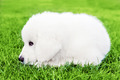 Cute white puppy dog lying on grass. Polish Tatra Sheepdog - PhotoDune Item for Sale