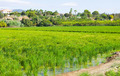 Rural landscape with rice fields - PhotoDune Item for Sale