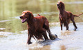 Two  Irish Setters  in water - PhotoDune Item for Sale