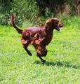 Setter running  at park - PhotoDune Item for Sale