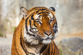 Close-up of a Tigers face. - PhotoDune Item for Sale