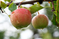 apples on the branch - PhotoDune Item for Sale
