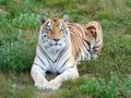 Bengal tiger (Panthera tigris tigris) - PhotoDune Item for Sale