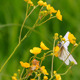 White Butterfly On Yellow Flowers - VideoHive Item for Sale