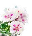 Watercolor Image Of Geranium Flowers - PhotoDune Item for Sale