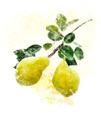 Watercolor Image Of Yellow Pears - PhotoDune Item for Sale