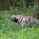 striped hyena - PhotoDune Item for Sale