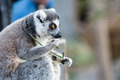 Ring-tailed Lemur Eating - PhotoDune Item for Sale