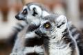 Ring-tailed Lemurs - PhotoDune Item for Sale