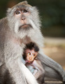 Monkey feeds her cub. Animals - mother and child - PhotoDune Item for Sale